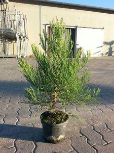 Mammutbaum-Sequoiadendron-giganteum-1-st-40-60cm-im-3l-Topf-Sale