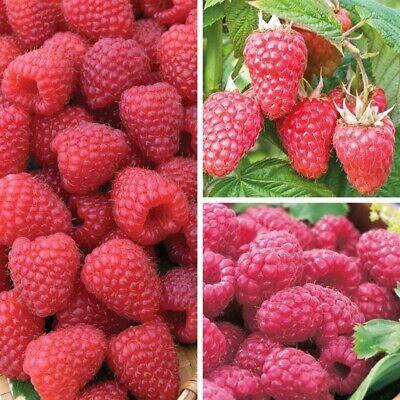 20pcs Raspberry Fruit Seeds Home Garden Plantting Perennial Bonsai Sweet Berry Ebay