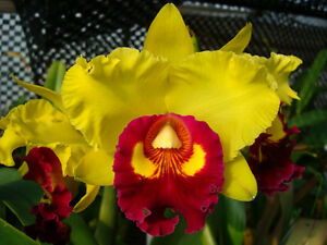 RON-Quality-Cattleya-Adv-seedling-Rlc-Liu-039-s-Joyance-X-Rlc-Shinfong-Gold-Gem