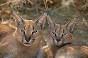 3 D Ansichtskarte Karakal Oder Wustenluchs Desert Lynx