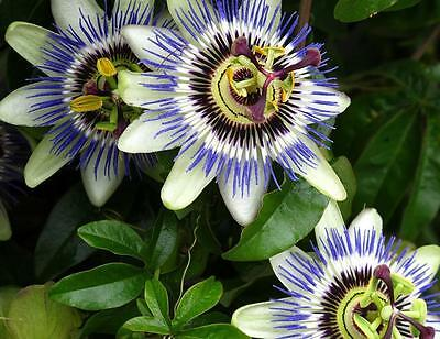 BLUE PASSION FLOWER VINE * Passiflora caerulea * TROPICAL BLOOMS * SEEDS