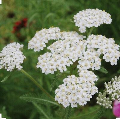 Yarrow White 500 Seeds #3333