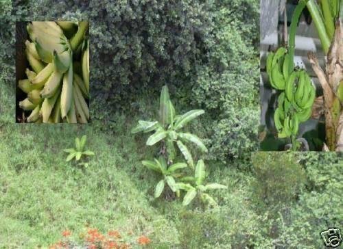 bewurzelte Jungpflanze frisches Obst Gemüse für zuhause bildet Ableger Musa Nag