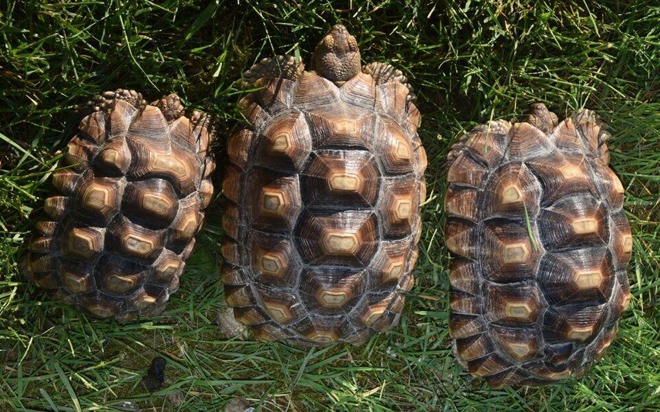 Skildpadde, Sulcata