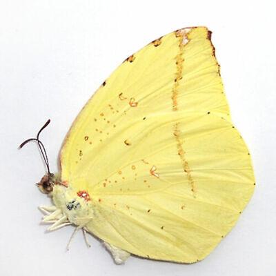 COLLECTION umounted butterfly Pieridae Dercas enara CHINA A1