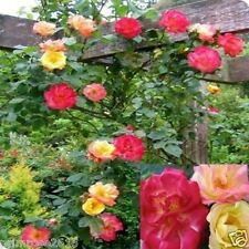 """Fragrant Climbing Rose """"MASQUERADE"""" Yellow~Pink~Red Flower Plant-1 live plant"""