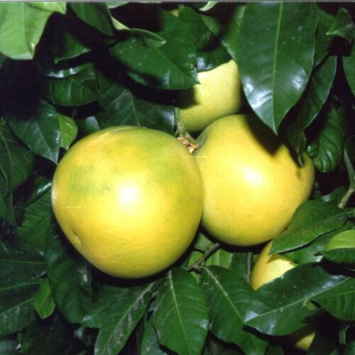PAMPLEMOUSSE  Citrus Paradisi