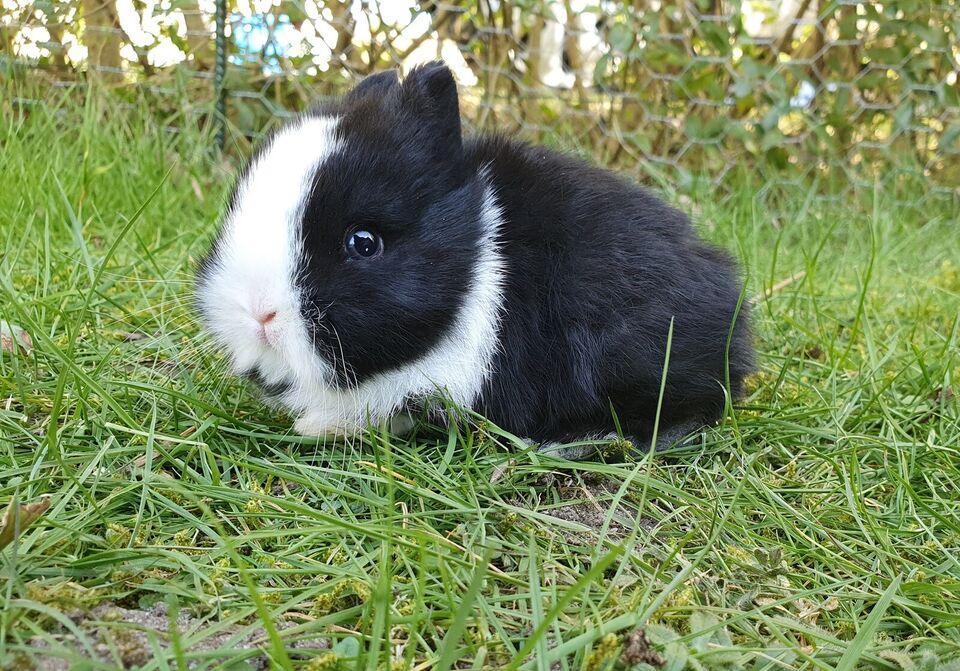 Kanin, Hermelin, 0 år