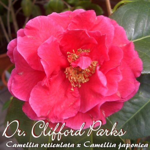 "Kamelie /""dottor Clifford parchi/"" 4 a 5 Camellia reticulata x Camellia japonica"