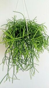 RHIPSALIS-CASSUTHA-Rare-Tropical-Hanging-Cactus-3-x-Stem-Cutting-10cm-Esquejes