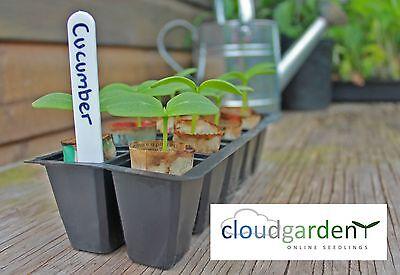 CUCUMBER PLANTS x2 - Burpless F1-  plug seedlings vegetable
