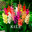 Different Perennial Gladiolus Flowers Bonsai Sword Lily Plants New 100 PCS Seeds