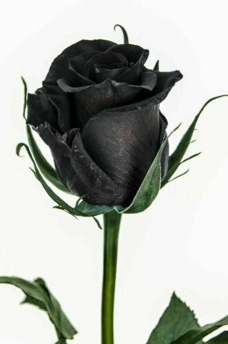 25 pcs Rare Amazingly Beautiful Black Rose flower Seeds