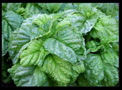 Lettuce Leaf Basil 100-5000 Seeds Aromatic Bushy Huge abundant Leaves Heirloom