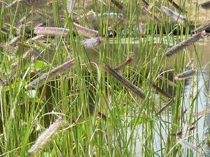 250-Samen-Bouteloua-gracilis-Moskitogras-Gramagras