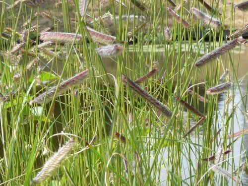 Moskitogras 250 Samen Bouteloua gracilis Gramagras