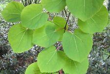 Riecht nach Lebkuchen 100 Samen Japanischer Kuchenbaum, Cercidiphyllum japonicum