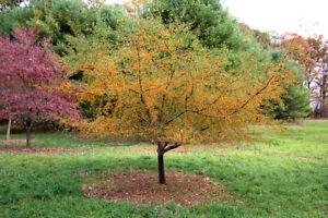 Malus Golden Hornet Flowering Crab Apple Tree Pot Grown Peat