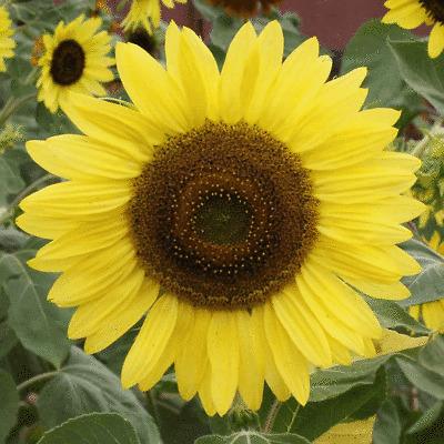 1 Lb Grey Stripe Sunflower Wildflower Seeds Everwilde Farms Mylar Seed Packet