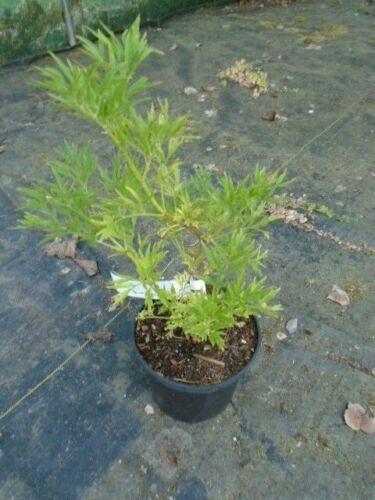 lacinata Sambucus nigra f cut-leaved elder in 1.5l pot