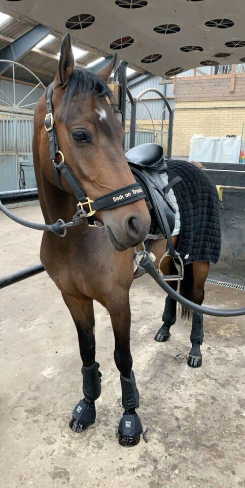 Dansk Sports Pony, vallak, 6 år