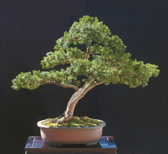 10 Japanese Yew Bonsai Tree Seed Pack Taxus Cuspidata Capitata For Sale Online Ebay