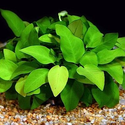 "Anubias Nana ""Golden"" - Beginner Live Aquarium Plants Java Moss Fish Tanks ADA"