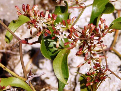 Smilax Aspera 25 Seeds Rough bindweed
