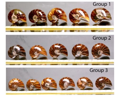 ATTRACTIVE POLISHED NAUTILUS FOSSILS…  2266 SPECIAL OFFER