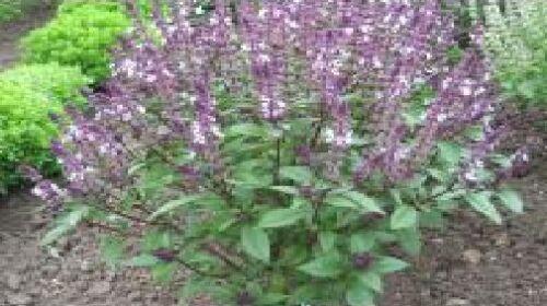 1200 Seeds Cinnamon Herb Basil