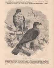 Mäusebussard Common buzzard Buteo buteo Original HOLZLSTICH von 1866
