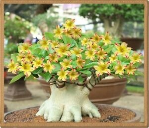 Details about YELLOW ADENIUM OBESUM Seeds 100% Desert Rose Bonsai Seeds