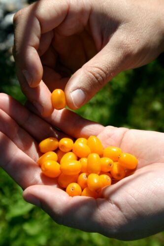 ~Sea Buckthorn~ Hippophae rhamoides Cold Hardy to Zone 3a ~Shining Horse~ SEEDS