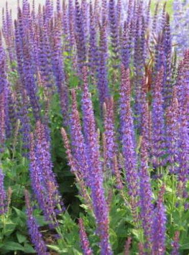 80 Graines SAGE-Salvia Officinalis vivace Herb