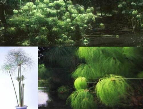 Der Papyrus Samen// immergrüne Blattpflanze für das Haus den Hof die Wohnung Duft