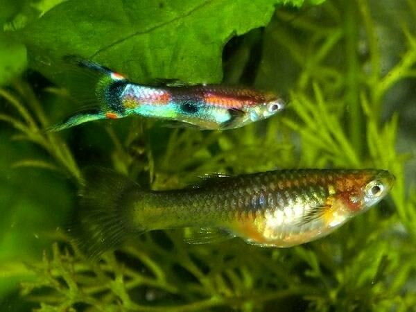 Endler Guppies