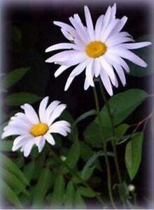 Shasta-Daisy-Chrysanthemum-Maximum-100-seeds-BOGO-50-off-SALE