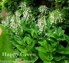 WOODLAND TOBACCO - Nicotiana Sylvestris - 10 000 seeds - ANNUAL FLOWER
