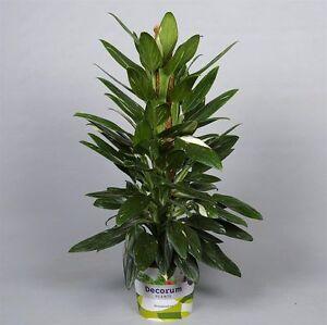 Philodendron-034-Cobra-034-a-Master-moss-80cm-Taille-du-pot-19cm