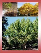 2 Ginkgo biloba tree- 2 to 3 feet tall-$7.99 each