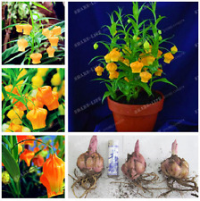 2 Lantern Lily Bulbs Flower Indoor Plant Radiation Absorption Natural Growth