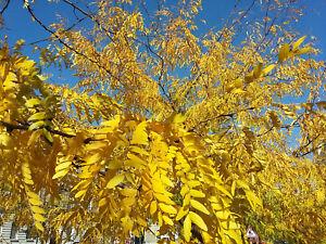 flowering-tree-Honey-Locust-GLEDITSIA-TRIACANTHOS-Acacia-like-foliage-fruit