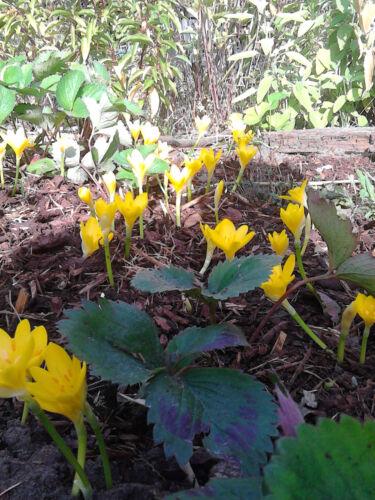 10 Sternbergia lutea ORO Krokus temporale fiore fresco da giardino TOP herbstbüte
