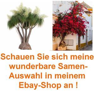 Samen-Spar-Set-mit-zwei-Super-Exoten-Flammenbaum-und-Elefantenfuss