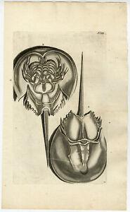 Antique-Print-CANCER-PERVERSUS-HORSESHOE-CRAB-Rumphius-Maria-Sybilla-Merian-1741