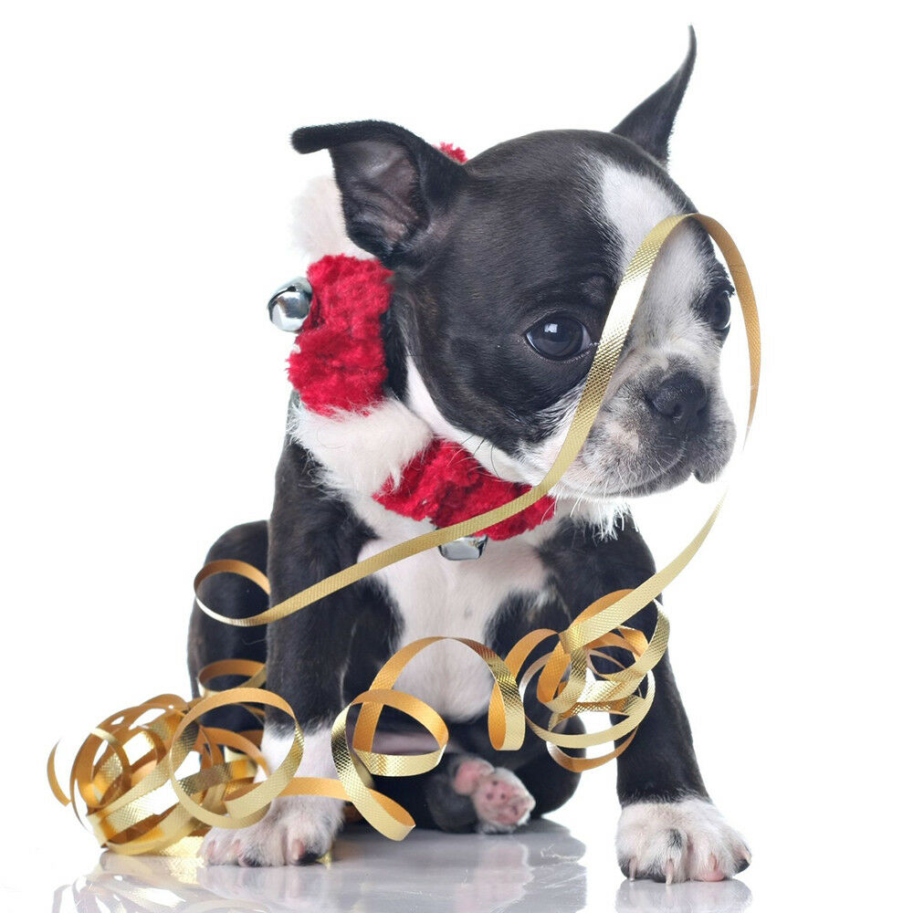 Christmas Cards & Packs - Boston Terrier Puppy Dog \