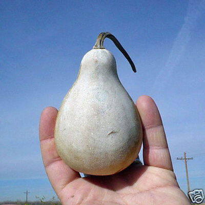 Spoon Gourd Seed Annual Vine Ornamental