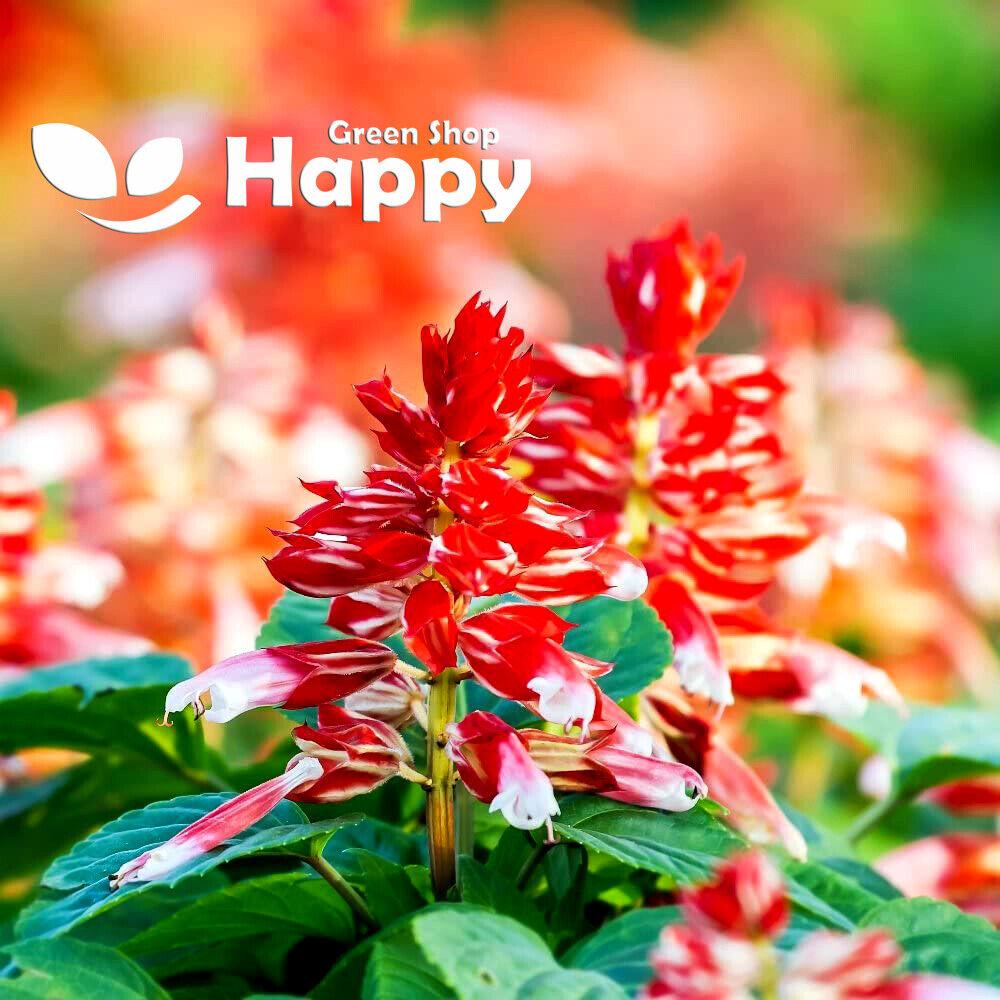 SAGE SCARLET-ORANGE BICOLOR - 15 seeds - Salvia Splendens - Annual flower