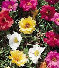 Moss Rose-Portulaca- Mix Colors- 200 Seeds - 50 % off sale