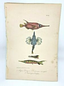 SEAMOTH-SHRIMPFISH-Plate-45-Lacepede-1832-Hand-Colored-Natural-History